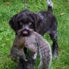 """P"" litter Penny vom Buffeltaler at 8 weeks retrieving a squirrel."