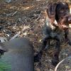 Rusty vom Buffeltaler (call name Griz) at 6 month old pup owned by Jeremy Mason from California with a black tail buck that Griz helped locate after the shot.